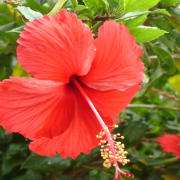 Ibisco, un fiore per l'Africa